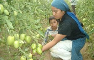 Mujeres en el  campo mexicano